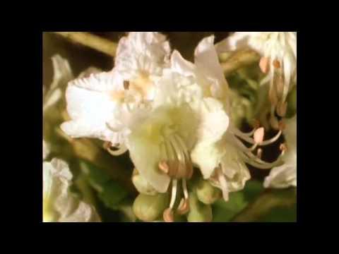 Schulfilm-DVD / Biologie: BL�TEN - AUFBAU UND BEST�UBUNG (Trailer / Vorschau)